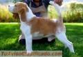 Hermosa cahorra beagle con pedigree