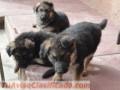 Pastor aleman cachorros de raza